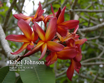Ethel Johnson Plumeria