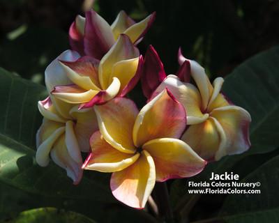 Jackie JJ Plumeria