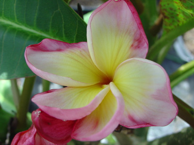 Sheer Beauty aka Thai Dane Plumeria