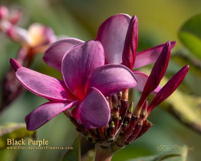 Black Purple aka Muang Anchan Plumeria