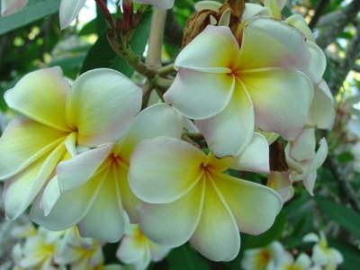 Mareno's Rainbow Plumeria