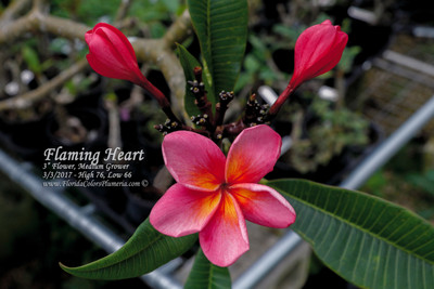 Flaming Heart Plumeria