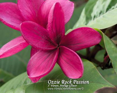 Ozzie Rock Passion Plumeria
