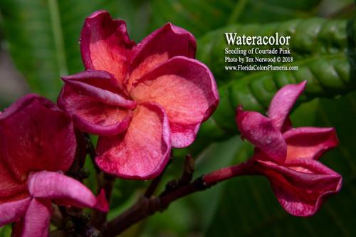 Watercolor Plumeria