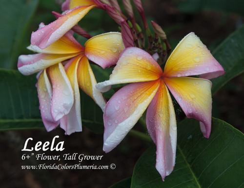 Leela - Rainbow Starburst Plumeria