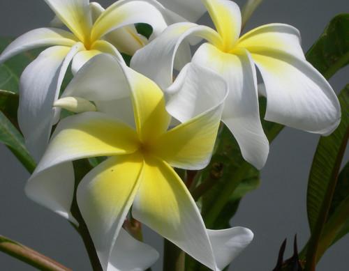 Ammaron's Curly White Plumeria
