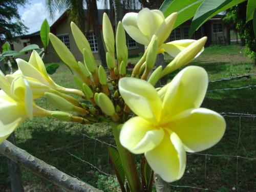Bowen Yellow Plumeria