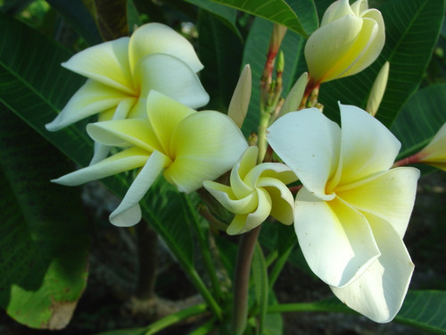 Naples Yellow Plumeria