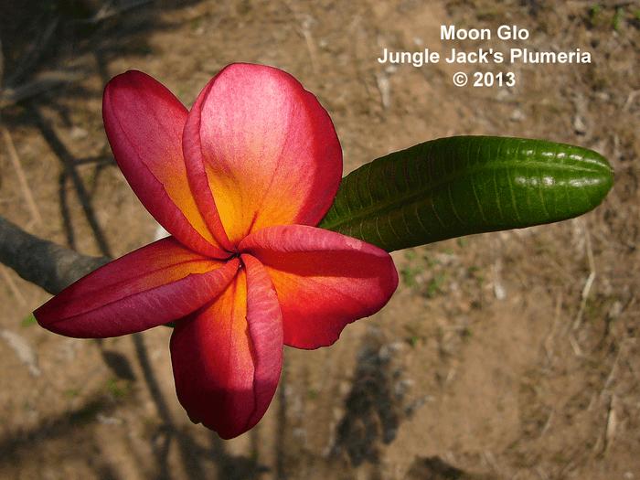 MoonGlo JJ Plumeria