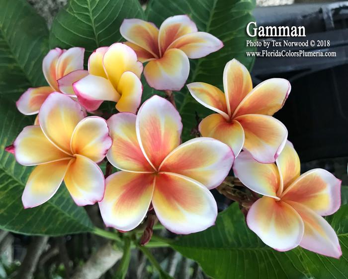 Gammam Plumeria