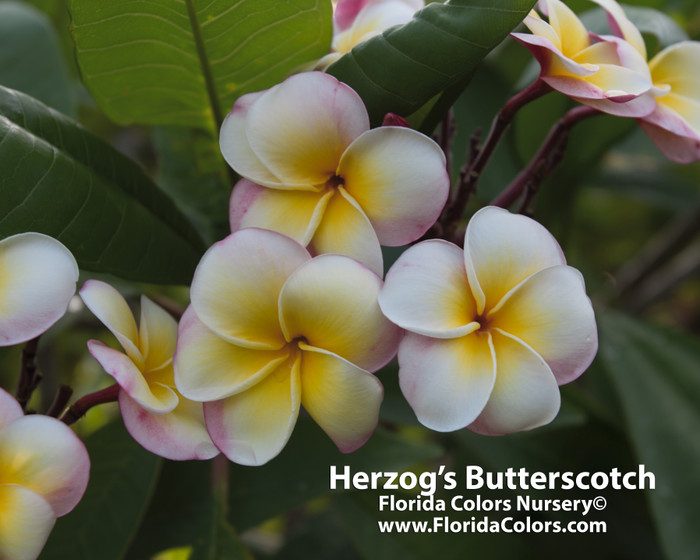Herzog's Butterscotch