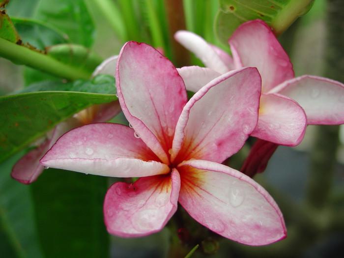 Pink Sunset Plumeria