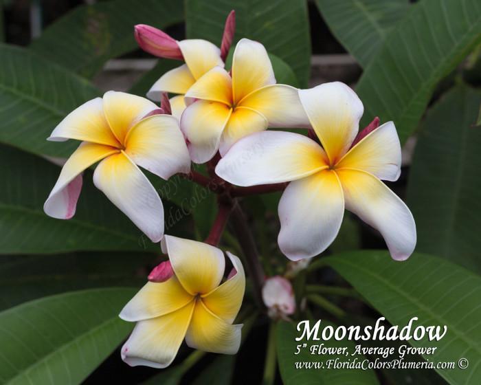 Moonshadow Plumeria