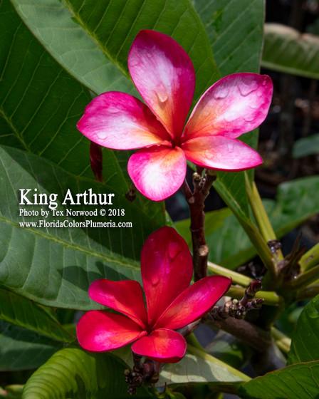 King Arthur Plumeria