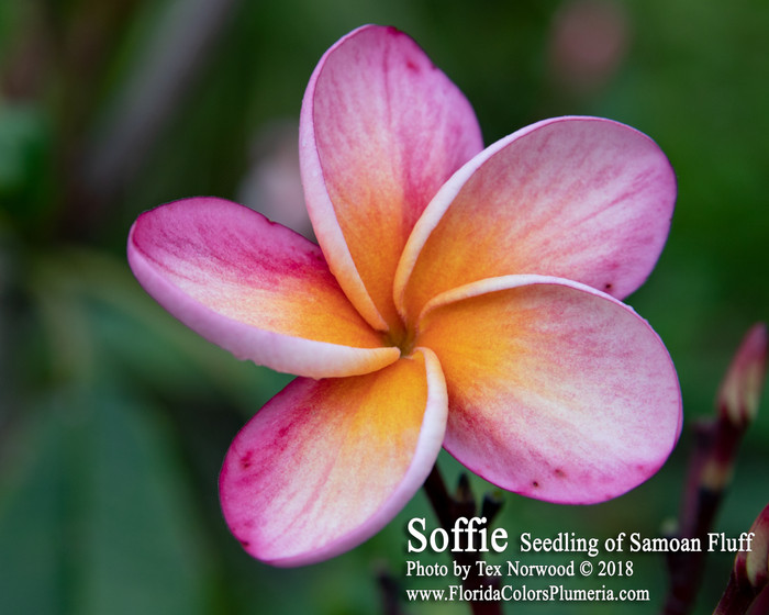 Texas Soffie FCN (grafted with roots) Plumeria