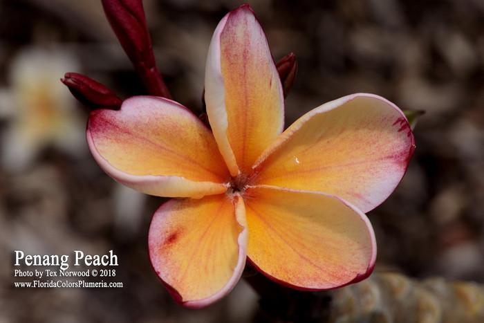 Penang Peach Plumeria
