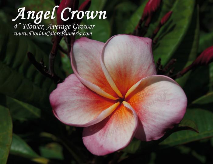 Angel Crown Plumeria