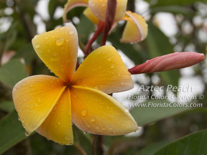 Aztec Peach Plumeria