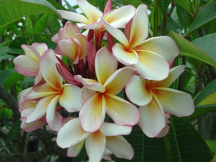 Coral Cream Plumeria
