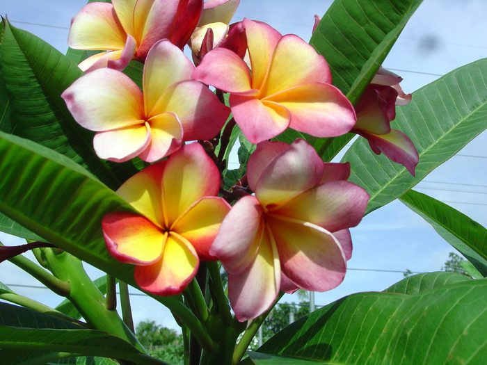 Gold Coast Cotton Candy Plumeria
