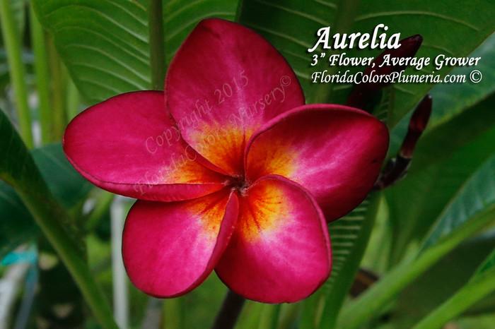 Aurelia Plumeria