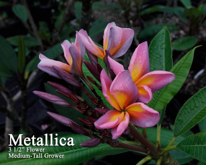 Metallica aka JL Metallica Plumeria