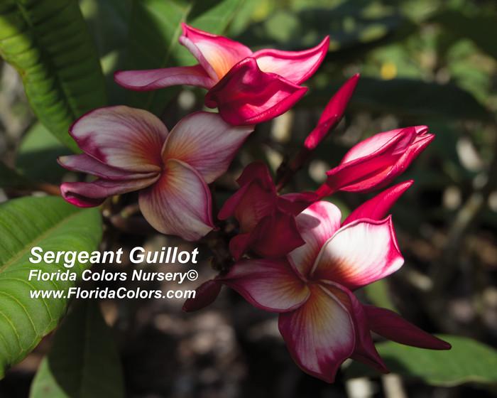 Sergeant Guillot Plumeria