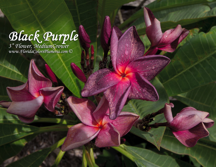 Black Purple Plumeria