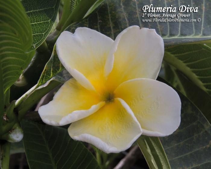 Plumeria Diva by Florida Colors Nursery