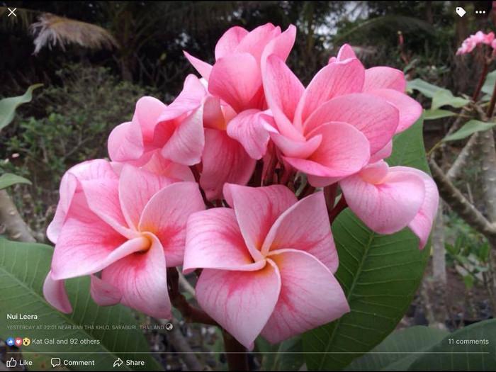 Sweet Valentine Plumeria