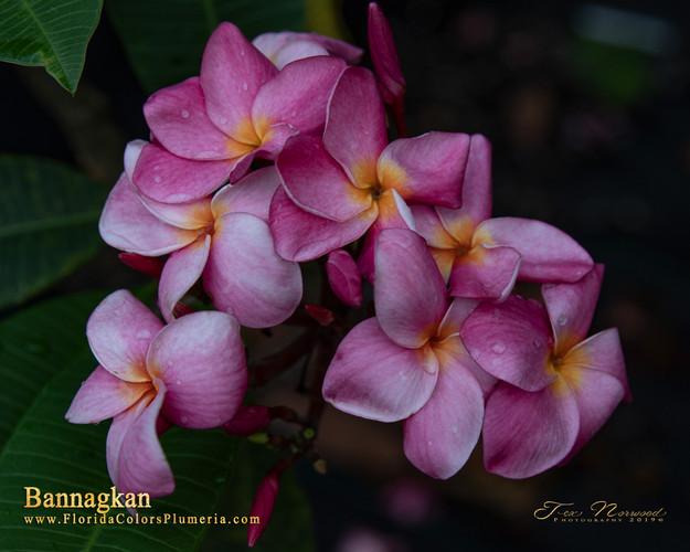 Bannagkan  (rooted) Plumeria