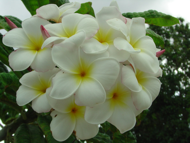 Barbara Hoak FCN  (rooted) Plumeria