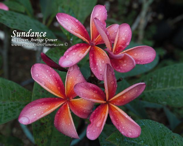 Sundance (rooted) Plumeria