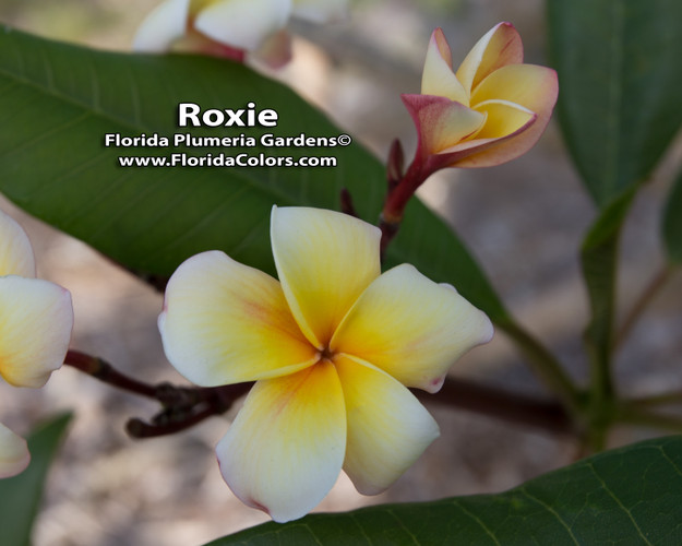 Roxie (Rooted) Plumeria