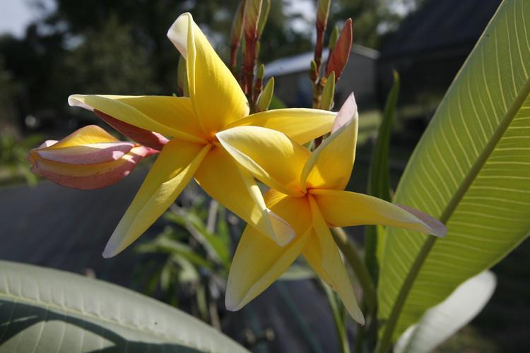 Aztec Gold Plumeria