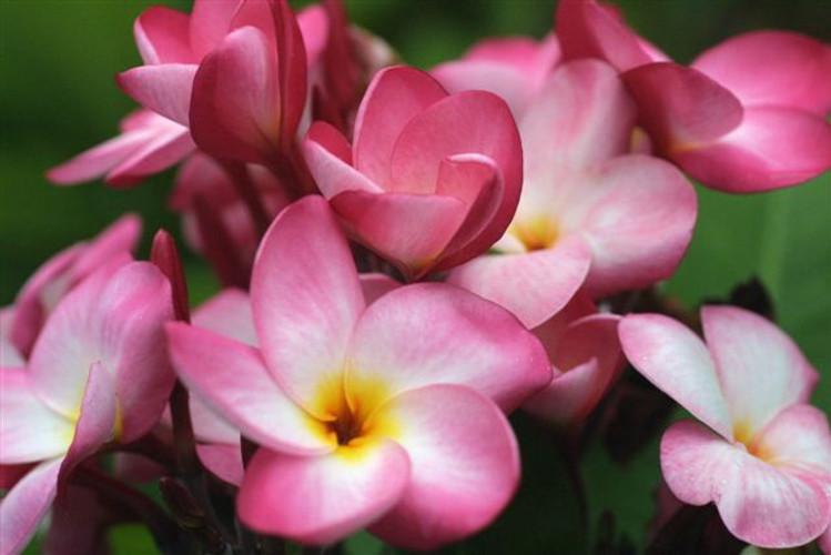 Brittney FCN (rooted)  Plumeria