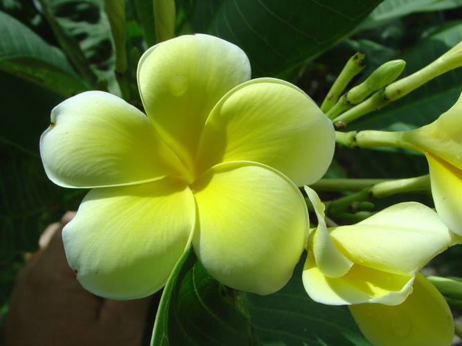 Limoncello FCN (rooted)  Plumeria
