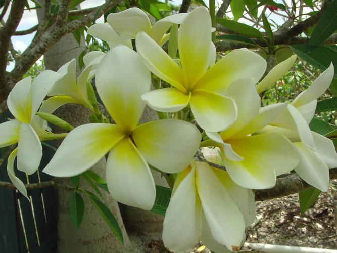 Polynesian White (rooted) aka Sherman Plumeria