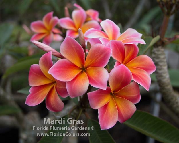 Mardi Gras (rooted) Plumeria