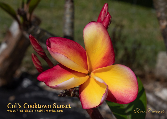 Col's Cooktown Sunset (rooted)  Plumeria