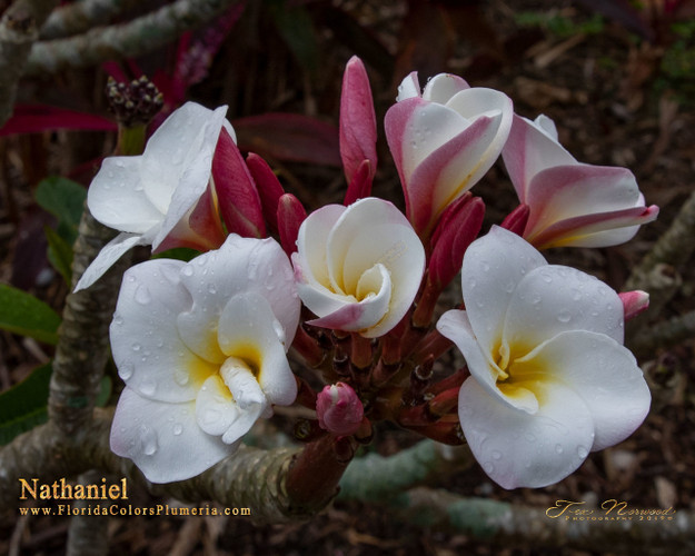 Nathaniel FCN (rooted) Plumeria