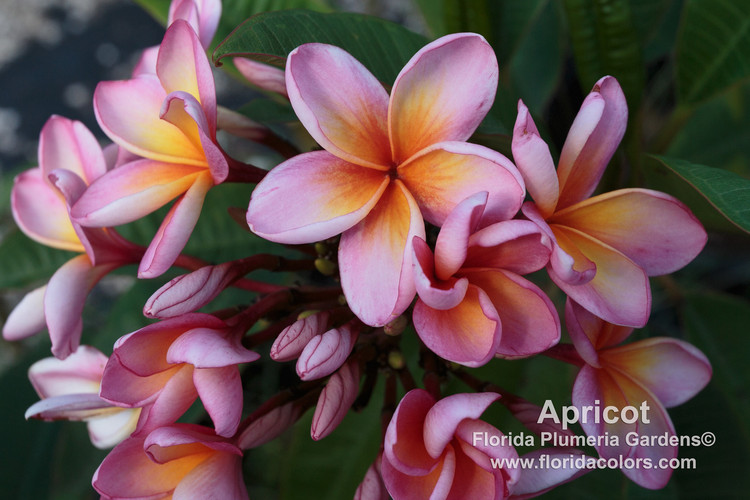 Apricot (rooted) Plumeria
