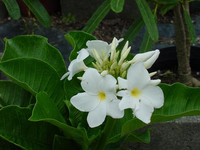 P. Isabella (rooted) Plumeria