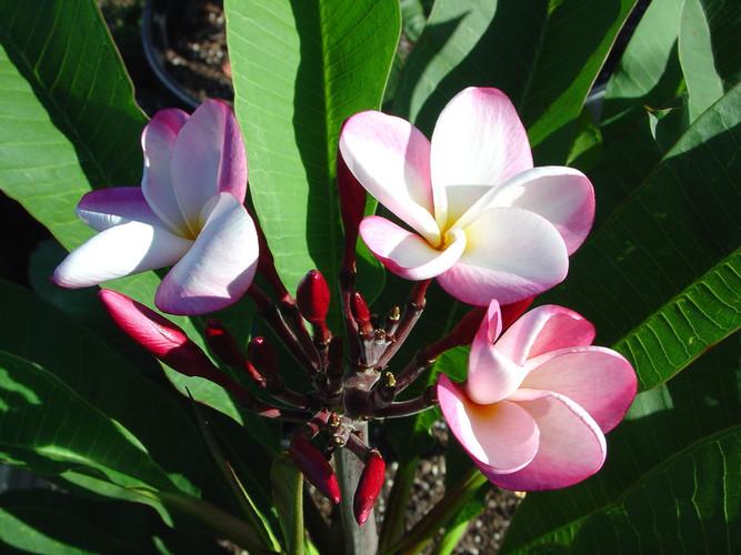 Gretchen FCN (rooted)  Plumeria
