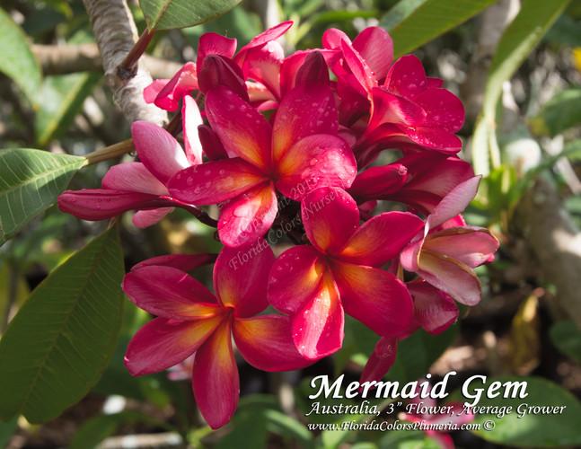 Mermaid Gem (rooted) Plumeria