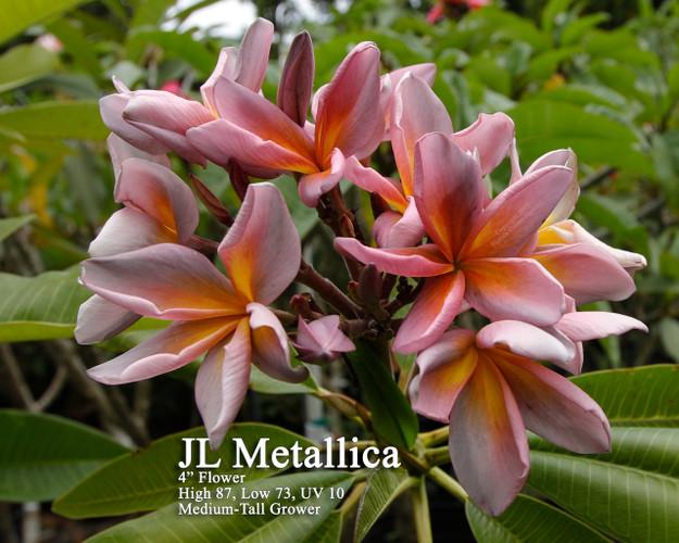 Metallica JL (grafted with roots)  aka Metallica Plumeria