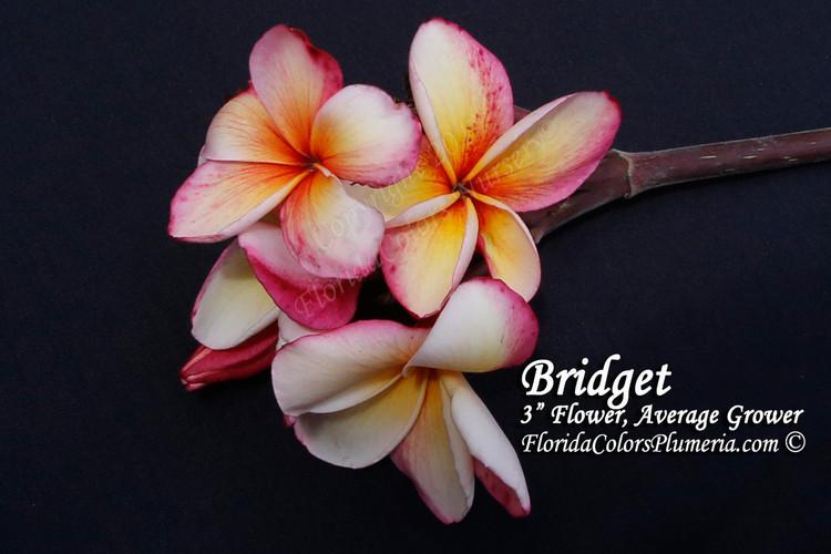 Bridget FCN  (rooted) Plumeria
