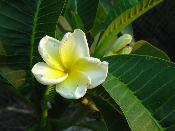 Plumeria Diva by Florida Colors Nursery