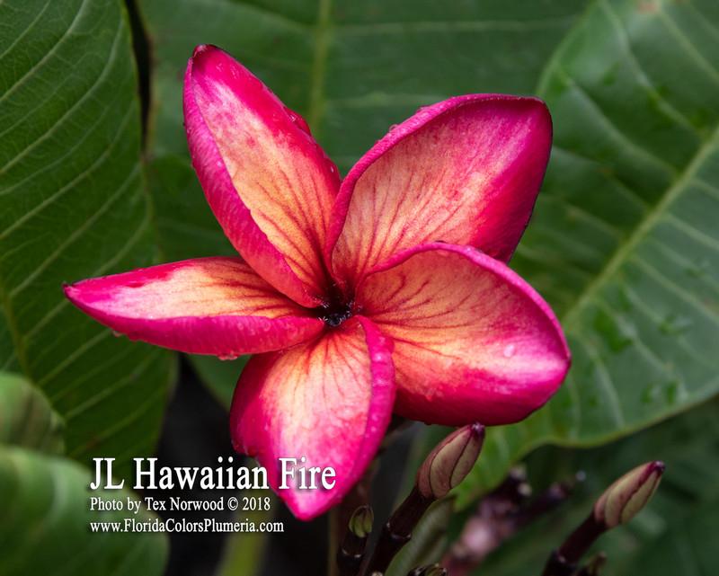 Hawaiian Fire Plumeria