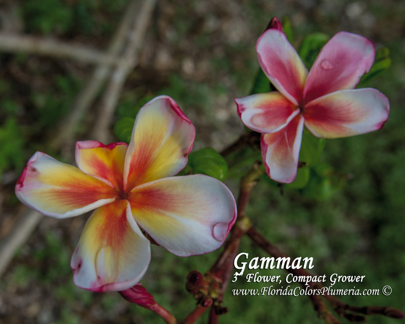 Gammam